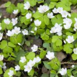 foraging for wood sorrel in north wales