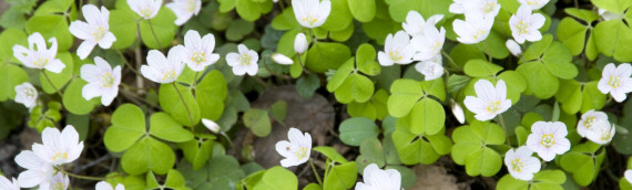 Foraging for Wood Sorrel