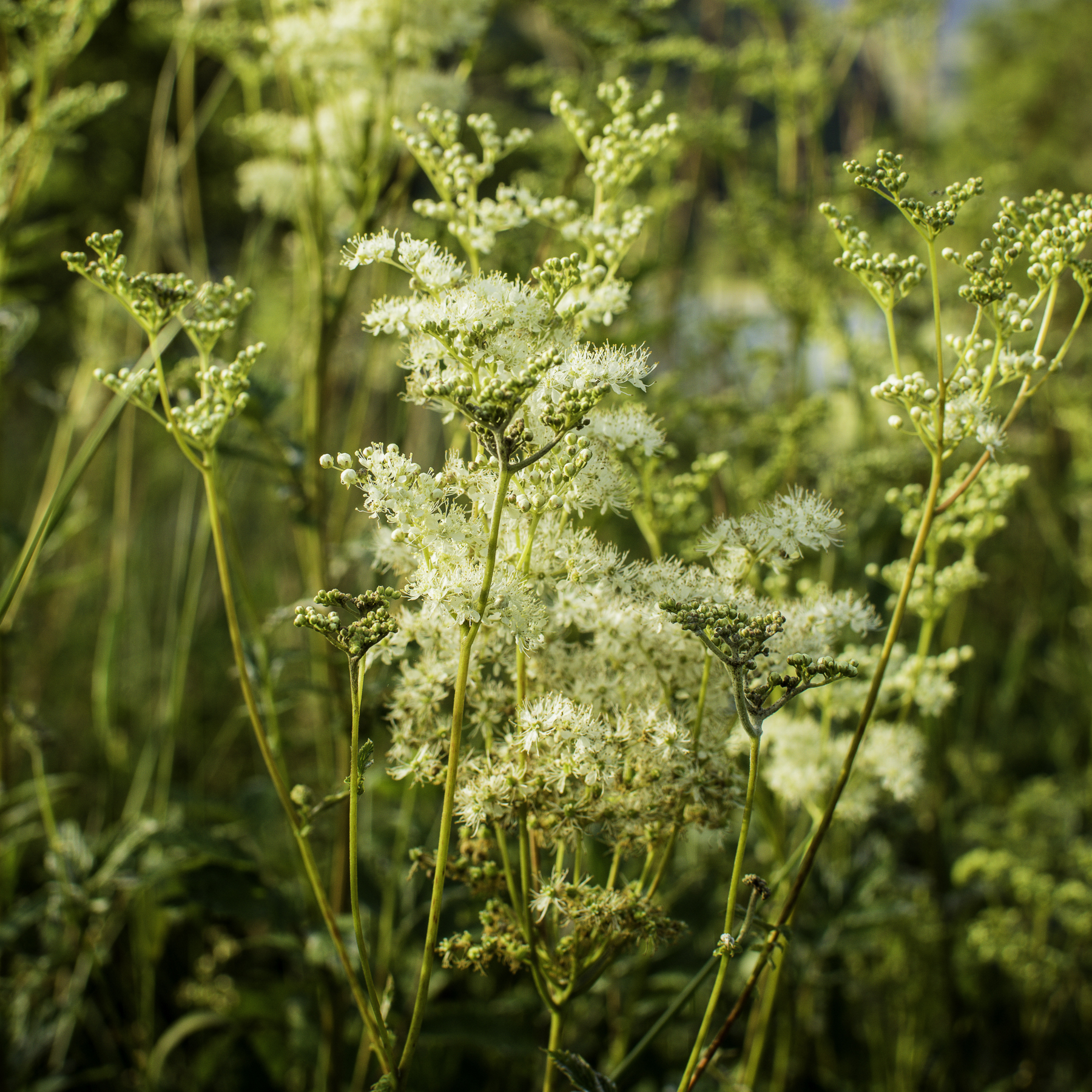 meadowsweet foraging