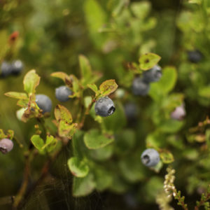 bilberry foraging