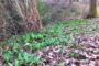 Wild Garlic Ransoms