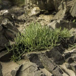 rock samphire foraging wales