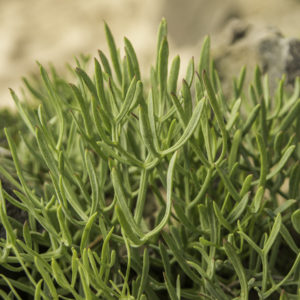 rock samphire foraging