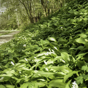 wild garlic guide uk