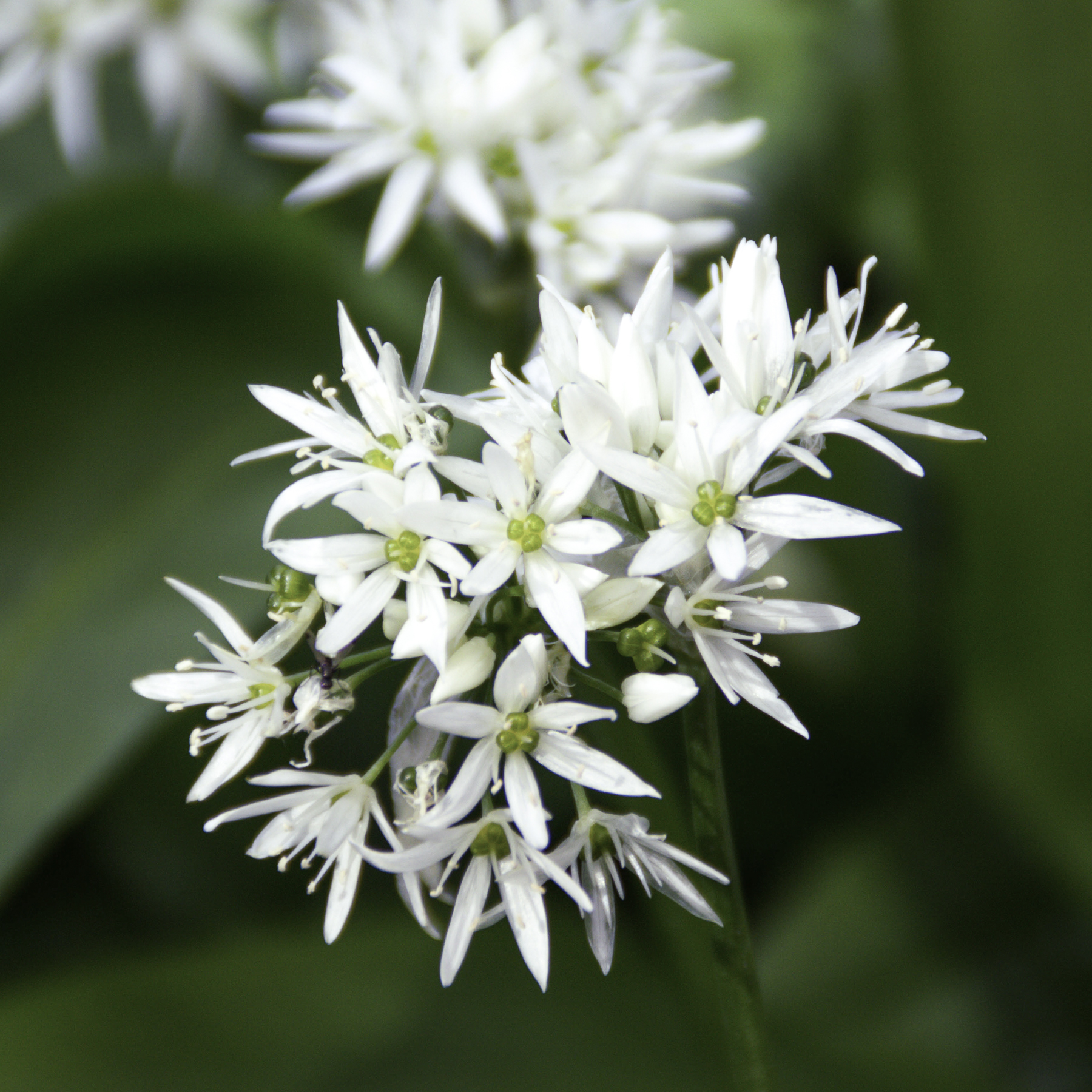 wild garlic foraging