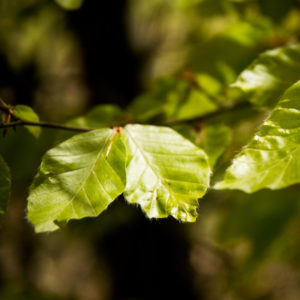 beech leaves edible uk