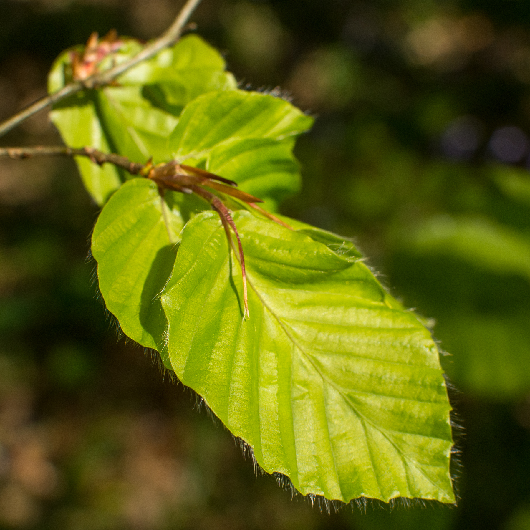 beech leaves edible