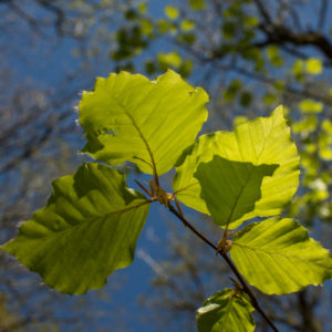 beech-leaves-foraging-UK-8