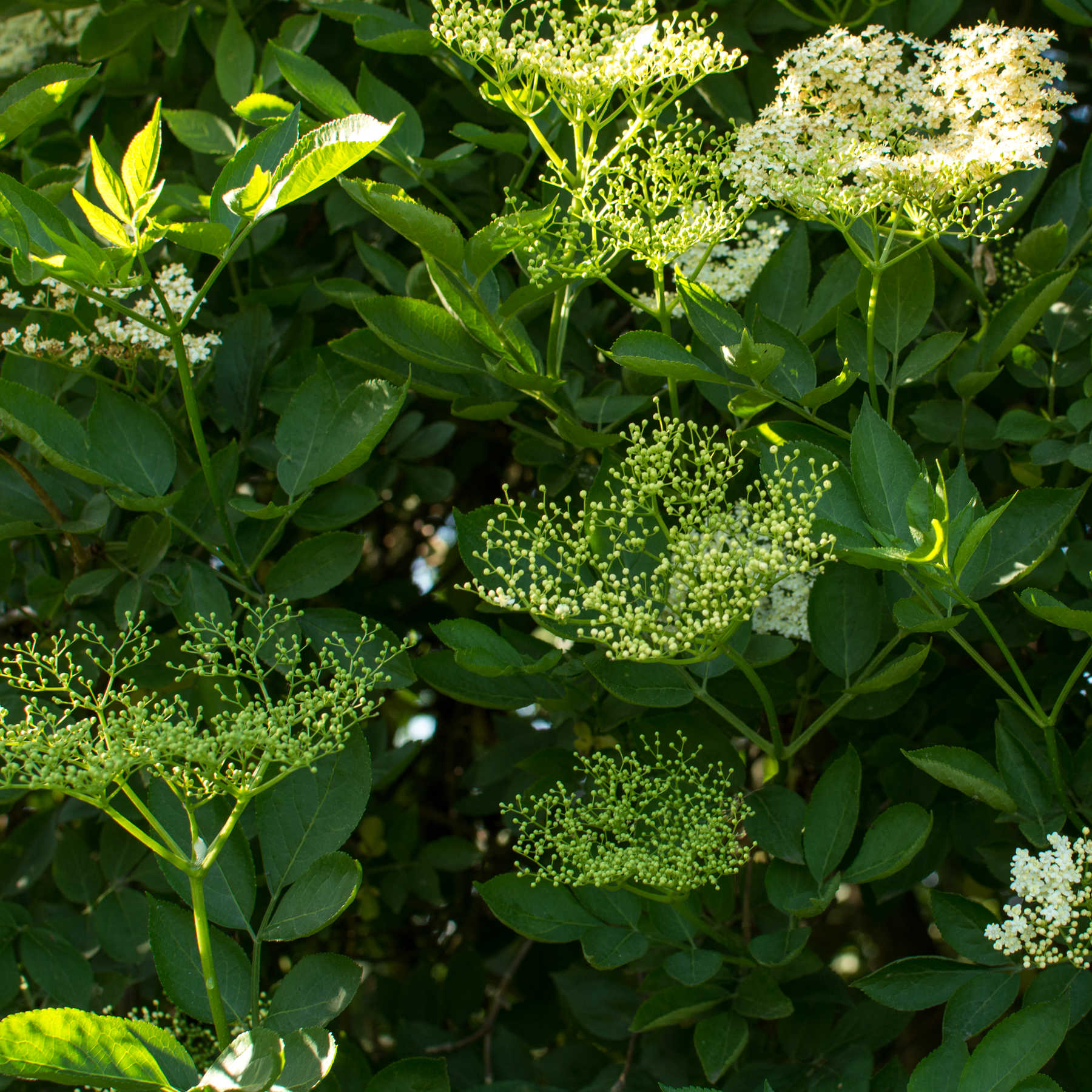 elderflower recipes foraging uk