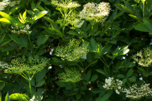 elderflower foraging recipes