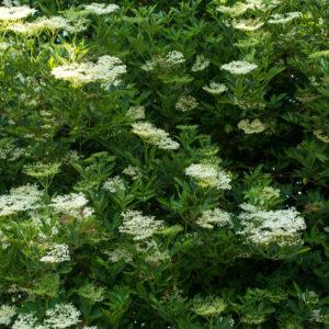 elderflower foraging uk